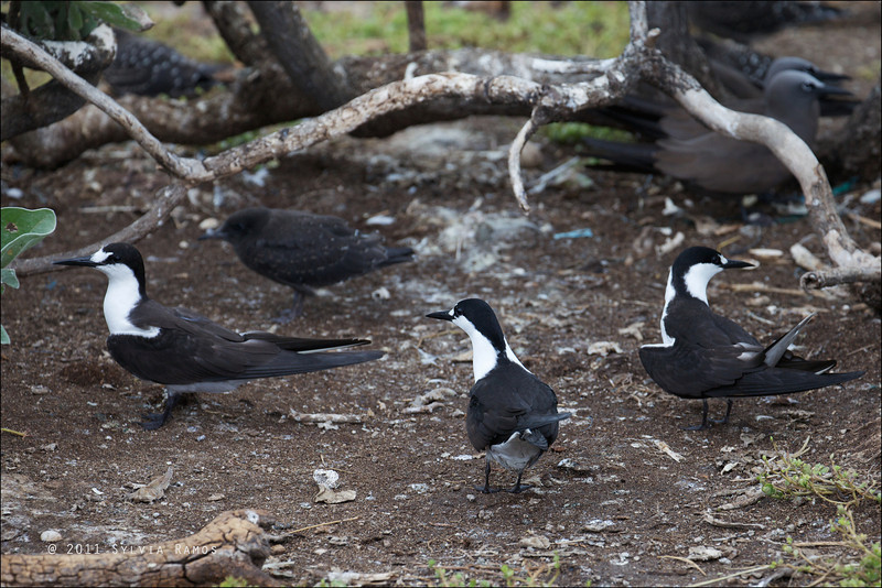 """SOOTY TERN <i>Sterna Fuscata</i> Tubbataha, Sulu Sea  The bird on the right is doing the erect or """"pole"""" stance. These birds do this after mating."""