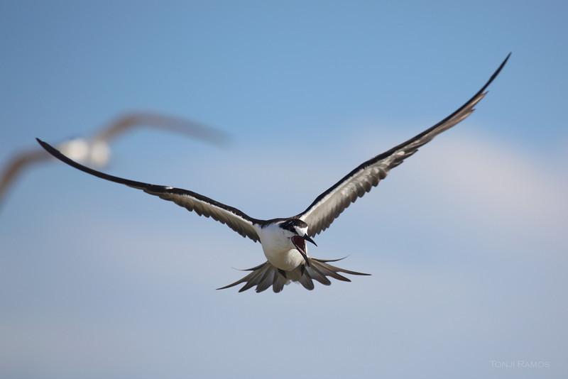 SOOTY TERN <i>Sterna Fuscata</i> Tubbataha, Sulu Sea  This adult is shouting instructions to the younger birds.