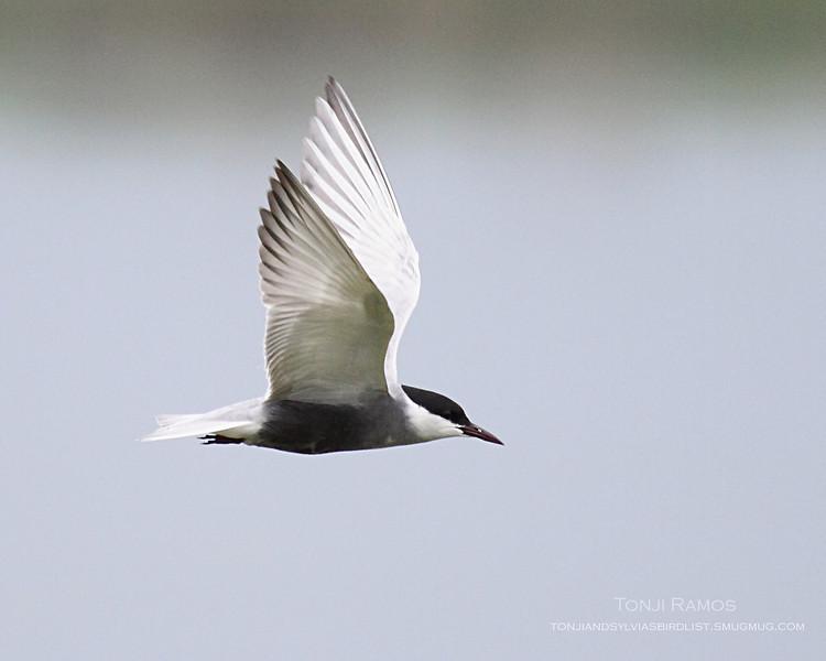 WHISKERED TERN breeding plumage <i>Chilidonias hybridus</i>  Masantol, Pampanga