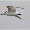 WHISKERED TERN <i>Chilidonias hybridus</i>  Coastal Road Lagoon, Manila Bay, Philippines