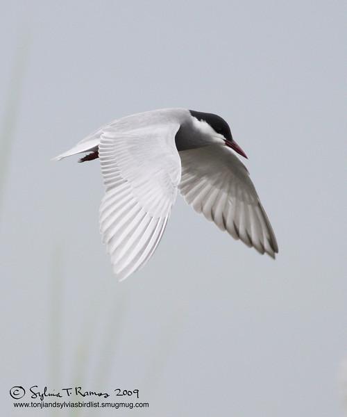 WHISKERED TERN, breeding plumage   <em>Chilidonias hybridus</em> Masantol, Pampanga