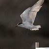 WHISKERED TERN <i>Chilidonias hybridus</i>  Manila Yacht Club, Philippines