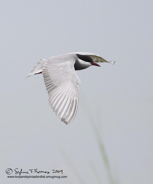 WHISKERED TERN, breeding plumage   <i>Chilidonias hybridus</i>   Masantol, Pampanga
