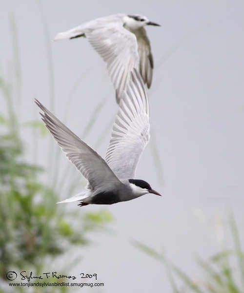 WHISKERED TERN, breeding plumage <i>Chilidonias hybridus</i>   Masantol, Pampanga