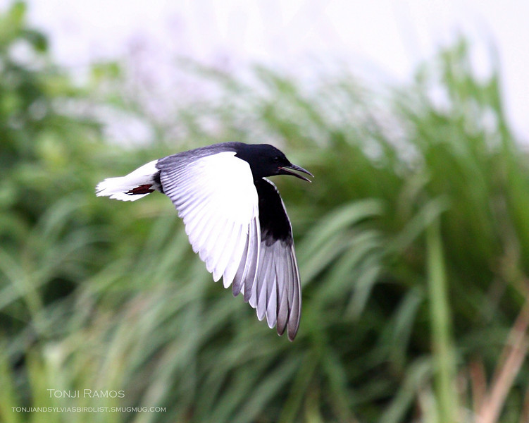 WHITE-WINGED TERN aka White-Winged Black Tern <i>Childonias leucopterus</i> Masantol, Pampanga, Philippines