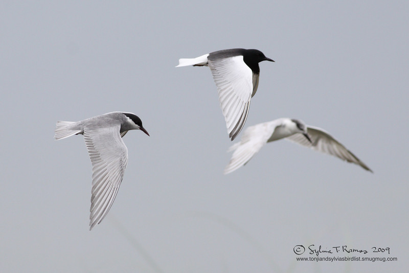 WHITE-WINGED TERN aka White-Winged Black Tern <i>Childonias leucopterus</i> Masantol, Pampanga, Philippines  The one in the middle is the White-Winged Tern