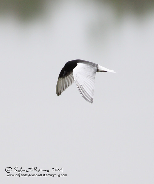 WHITE-WINGED TERN aka White-Winged Black Tern <i>Childonias leucopterus</i> Masantol, Pampanga, Philippines