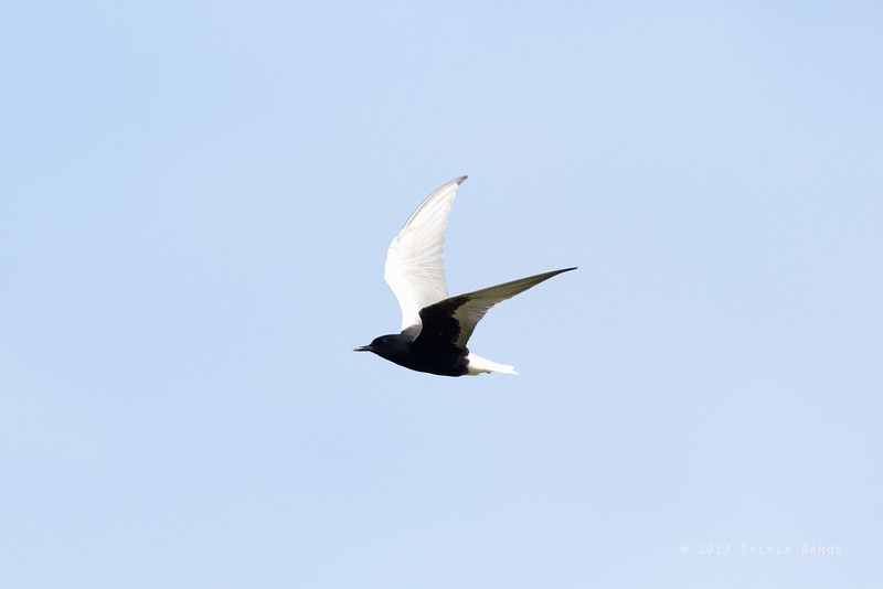 WHITE-WINGED TERN aka White-Winged Black Tern <i>Childonias leucopterus</i> Pasuquin, Ilocos Norte
