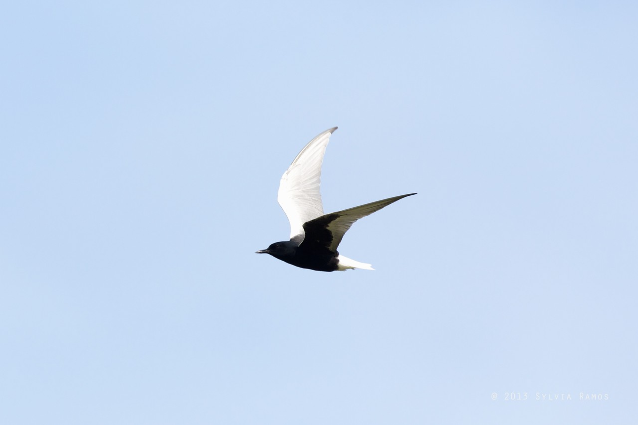 WHITE-WINGED TERN aka White-Winged Black Tern <i>Childonias leucopterus</i> Pasuquin, Ilocos Norte