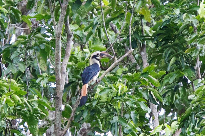 MINDANAO HORNBILL, male <i>Penelopides affinis</i> PICOP, Bislig, Surigao del Sur