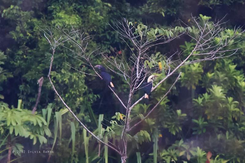 MINDANAO HORNBILL <i>Penelopides affinis</i> PICOP, Bislig, Surigao del Sur