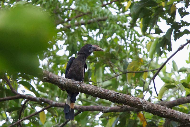 MINDANAO HORNBILL, female aka Mindanao Hornbill <i>Penelopides affinis</i> PICOP, Bislig, Surigao del Sur