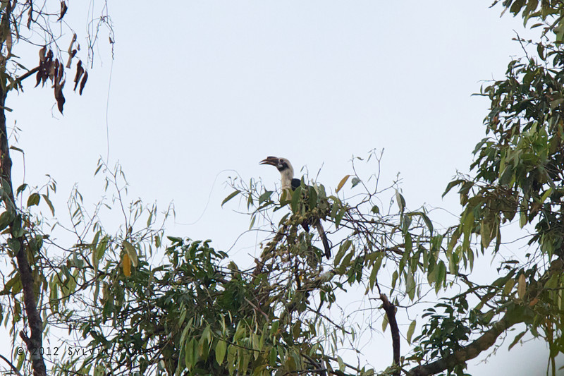 MINDANAO HORNBILL, male aka Mindanao Hornbill <i>Penelopides affinis</i> PICOP, Bislig, Surigao del Sur
