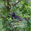 LUZON HORNBILL, female <i>Penelopides manillae</i> Subic, Zambales, Philippines