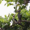 LUZON HORNBILL <i>Penelopides manillae</i> Subic, Zambales, Philippines