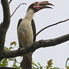LUZON HORNBILL, male