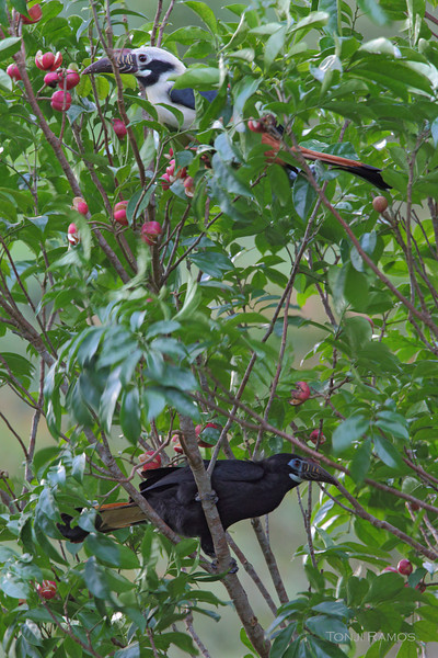 VISAYAN HORNBILL, male and female <i>Penelopides panini</i> Sibulan, Negros Oriental, Philippines