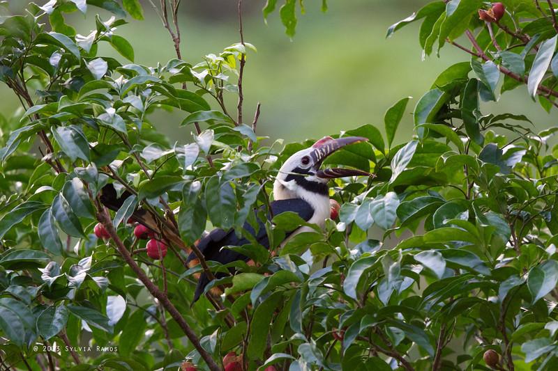 VISAYAN HORNBILL, male <i>Penelopides panini</i> Sibulan, Negros Oriental, Philippines