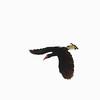 WRITHED HORNBILL <i>Aceros leucocephalus</i> PICOP, Bislig, Surigao del Sur