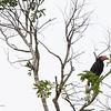WRITHED HORNBILL with two Coppersmith Barbets <i>Aceros leucocephalus</i> PICOP, Bislig, Surigao del Sur