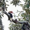 WRITHED HORNBILL, male <i>Aceros leucocephalus</i> PICOP, Bislig, Surigao del Sur