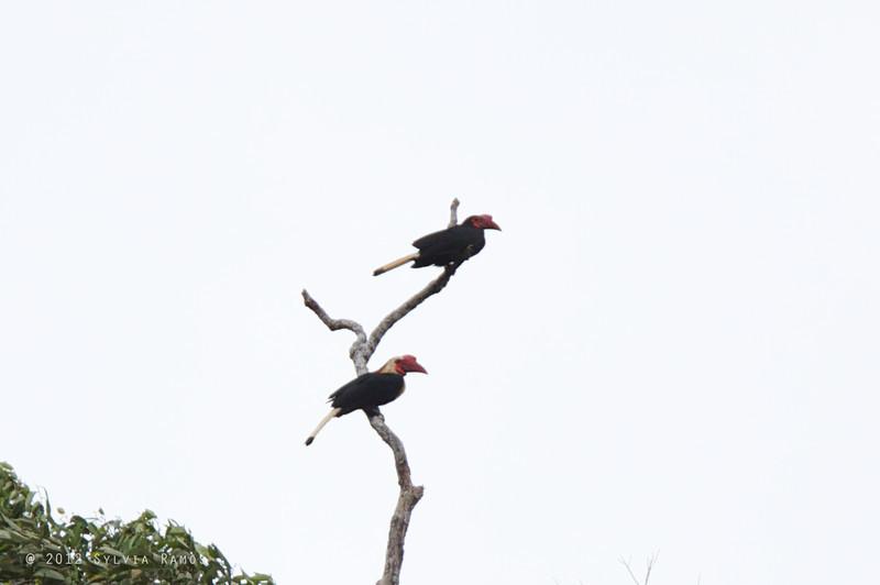 WRITHED HORNBILL, male and female <i>Aceros leucocephalus</i> PICOP, Bislig, Surigao del Sur