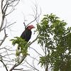 WRITHED HORNBILL, female <i>Aceros leucocephalus</i> PICOP, Bislig, Surigao del Sur