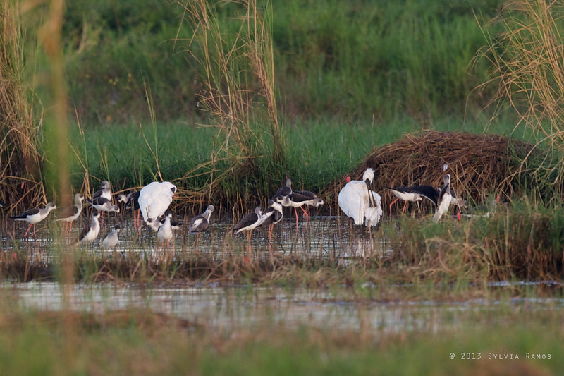 BLACK-FACED SPOONBILL <i>Platalea minor</i> Candaba, Pampanga