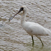 BLACK-FACED SPOONBILL Platalea minor