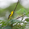 COMMON IORA <i>Aegithina tiphia</i> Puerto Princesa, Palawan  We saw it gathering spiderwebs for its nest.