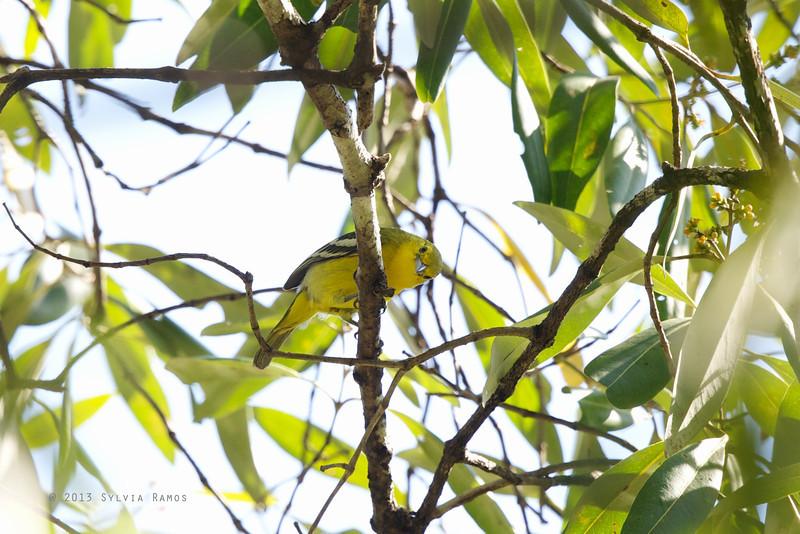 COMMON IORA <i>Aegithina tiphia</i> Puerto Princesa, Palawan