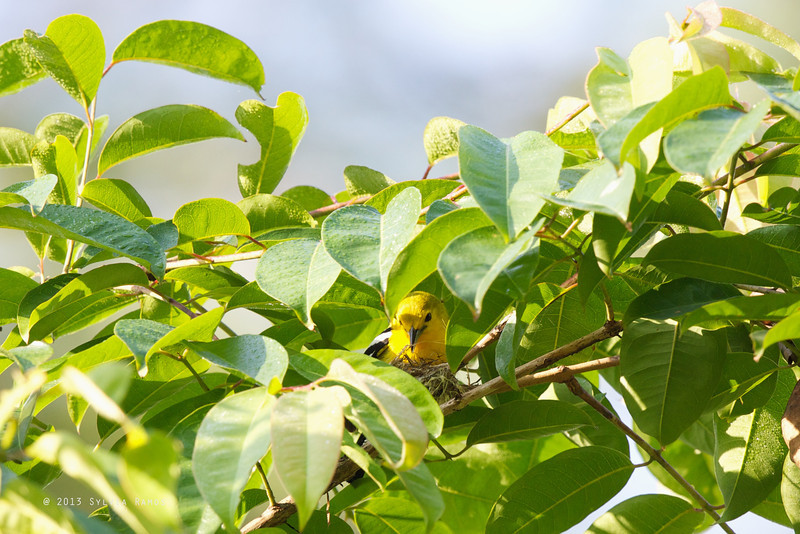 COMMON IORA <i>Aegithina tiphia</i> Puerto Princesa, Palawan  sitting on a nest