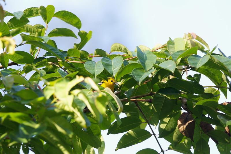 COMMON IORA <i>Aegithina tiphia</i> Puerto Princesa, Palawan  tending to its nest