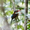 BLUE-CAPPED WOOD-KINGFISHER aka Blue-Capped Kingfisher <i>Actenoides hombroni</i> PICOP, Bislig, Surigao del Sur