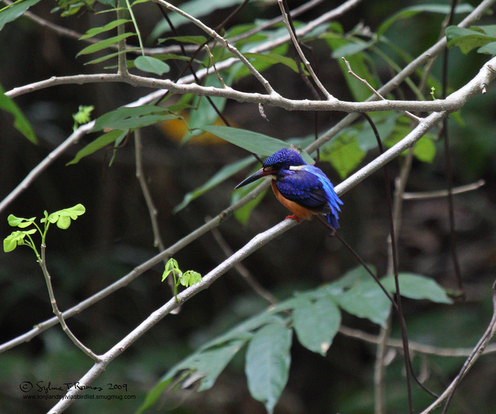 BLUE-EARED KINGFISHER <i>Alcedo meninting</i> Coron, Palawan, Philippines