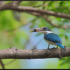COLLARED KINGFISHER <i>Todiramphus chloris</i> Alabang, Philippines