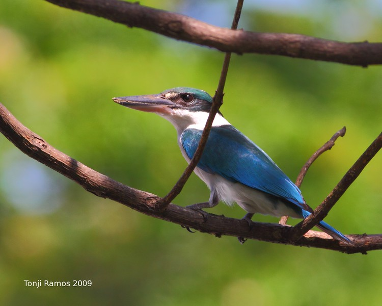 COLLARED KINGFISHER <i>Todiramphus chloris</i> Alabang, Philippines  This fellow was taken from our bedroom window.