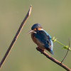COMMON KINGFISHER <i>Alcedo atthis</i> Candaba, Pampanga, Philippines