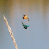 COMMON KINGFISHER <i>Alcedo atthis</i> Laoag, Ilocos Norte