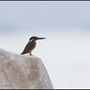 COMMON KINGFISHER <i>Alcedo atthis</i> Coastal, Manila Bay, Philippines