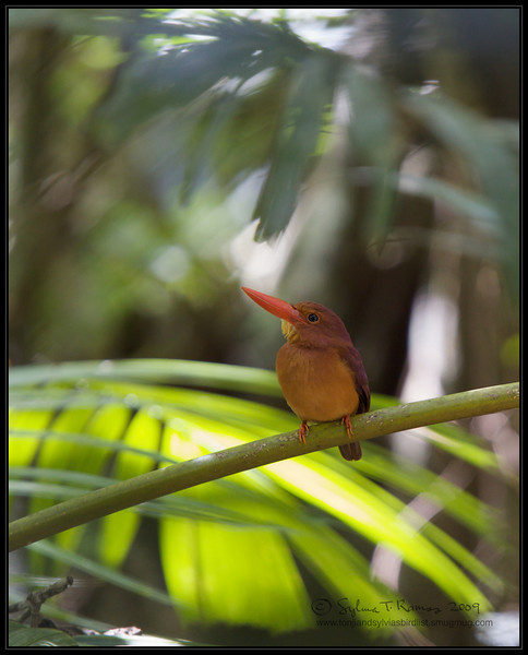 RUDDY KINGFISHER <i>Halycon coromanda</i> Coron, Palawan, Philippines