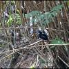 NORTHERN SILVERY KINGFISHER <i>Ceyx argentata</i> Rajah Sikatuna Park, Bilar, Bohol