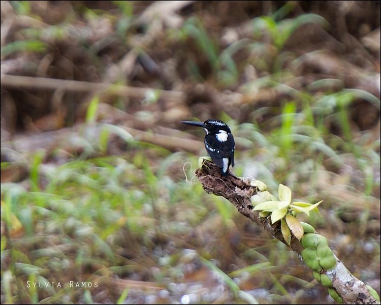 SOUTHERN SILVERY KINGFISHER <i>Ceyx flumenicola</i> PICOP, Bislig, Surigao del Sur