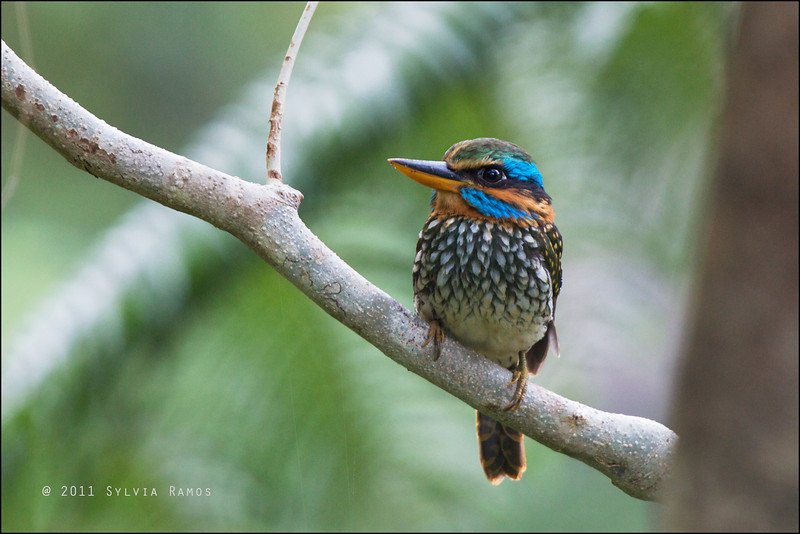 SPOTTED WOOD KINGFISHER <i>Actenoides lindsayi</i> Northern Sierra Madre, Luzon, Philippines