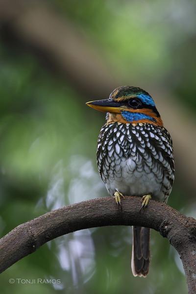 SPOTTED WOOD KINGFISHER <i>Actenoides lindsayi</i> La Mesa Ecopark, Quezon City, Philippines