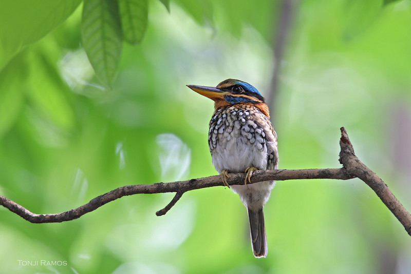 SPOTTED WOOD KINGFISHER <i>Actenoides lindsayi mosleyi</i> Centrop, Dumaguete City, Negros Oriental  This is the <i>mosleyi</i> race found in Negros and Panay.