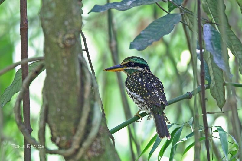SPOTTED WOOD KINGFISHER, female <i>Actenoides lindsayi</i> Mt. Makiling, Luzon, Philippines