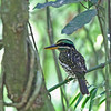 SPOTTED WOOD KINGFISHER, female <i>Actenoides lindsayi</i> Mt. Makiling, Luzon, Philippines