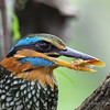 SPOTTED WOOD KINGFISHER <i>Actenoides lindsayi</i> La Mesa Ecopark, Quezon City, Philippines