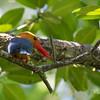 STORK-BILLED KINGFISHER <i>Halcyon capensis</i> Sabang, Palawan
